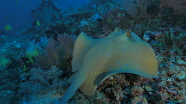 bluespotted stingray swimming in the coral reef - stingray stock videos and b-roll footage
