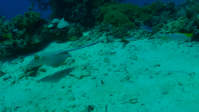 bluespotted stingray swimming undersea - bluespotted stingray stock videos & royalty-free footage