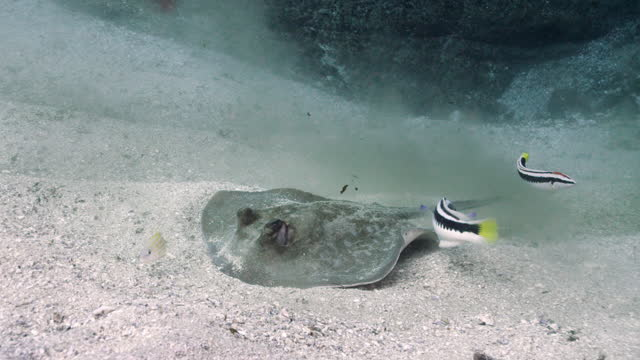 bluespotted stingray - sea life stock videos & royalty-free footage