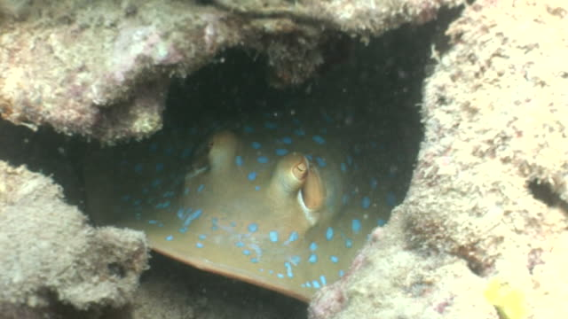 MS Bluespotting stingray hiding in coral reef AUDIO / Queensland, Australia