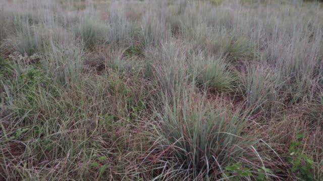 Bluestem grass