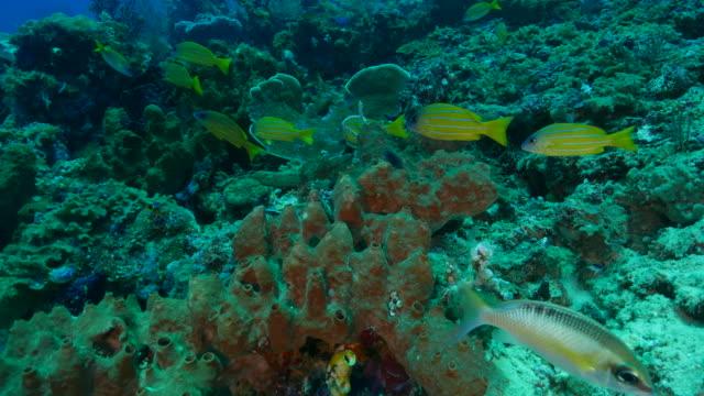 bluestripe snapper (bluelined), grunt fish - grunt fish stock videos and b-roll footage
