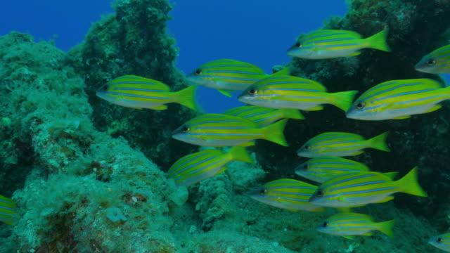 vídeos de stock e filmes b-roll de bluestripe snapper schooling undersea - lutjanídeo