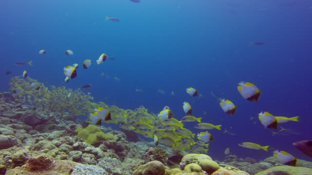 bluestripe snappers and pyramid butterflyfish in blue corner - palau, micronesia - butterflyfish stock videos & royalty-free footage