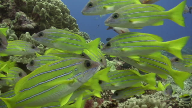 cu, bluestripe snappers (lutjanus kasmira) swimming around coral reef, moorea island, tahiti, french polynesia - french overseas territory stock videos & royalty-free footage