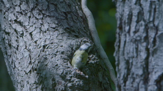 bluetit (cyanistes caeruleus) emerges from nest in tree trunk - bird's nest stock videos & royalty-free footage