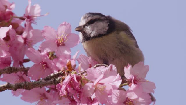 Bluetit (Cyanistes caeruleus) feeds on cherry blossom (Prunus) in spring, Wales