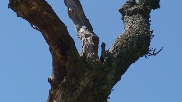 bluetits nest - bare tree stock videos & royalty-free footage