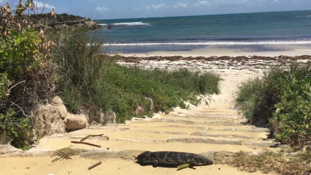 blue-tongued skink bobtail reptile in western australia - sandig stock-videos und b-roll-filmmaterial