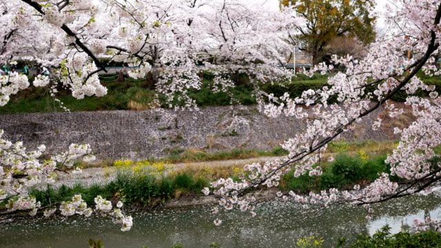 blur image of people enjoying cherry blossoms festival - high up stock videos & royalty-free footage