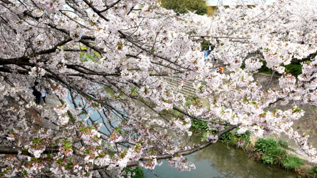 blur image of people enjoying cherry blossoms festival - blossom stock videos & royalty-free footage