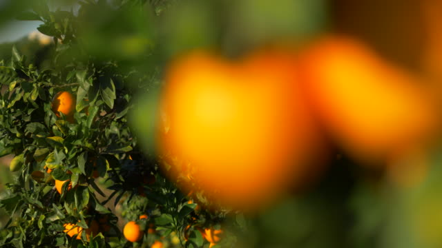 blurred motion, sunlight on ripe oranges - ascorbic acid stock videos & royalty-free footage