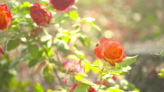 blurred rose flowers - differential focus stock videos and b-roll footage