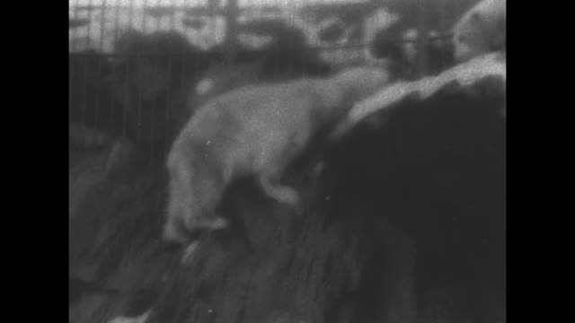 vs blurry shot of polar bears climbing on rocks at zoo / ms polar bear / note exact year not known - central park zoo stock-videos und b-roll-filmmaterial
