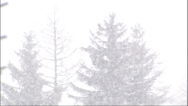 A blustery snow storm covers pine trees in a forest. Available in HD.