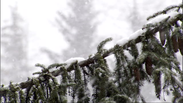 a blustery snow storm covers pine trees in a forest. available in hd. - tallkotte bildbanksvideor och videomaterial från bakom kulisserna