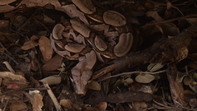 boa constrictor on forest floor. - camouflage stock videos & royalty-free footage