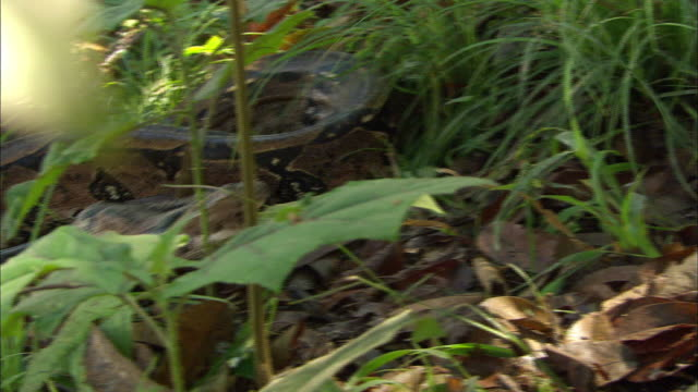 boa pouncing and alerting on amazon rainforest - amazonas state brazil stock videos and b-roll footage