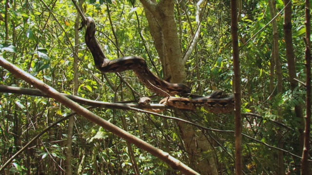 ws boa (boa madagascariensis) resting on tree / nosy be, madagascar - east africa stock videos & royalty-free footage