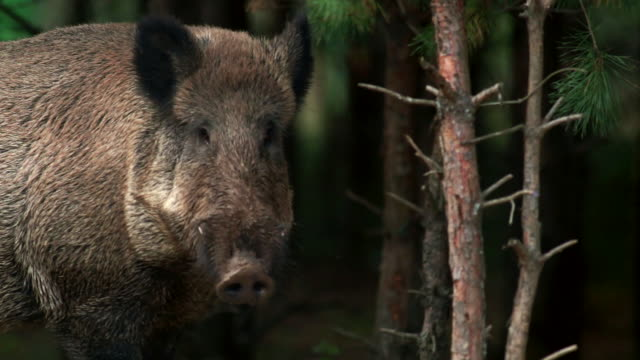 boar eating - boar stock videos & royalty-free footage