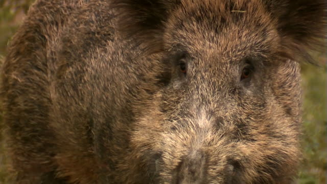 wildschwein im april - wildtier stock-videos und b-roll-filmmaterial