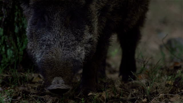 boar looking for eat - boar stock videos & royalty-free footage