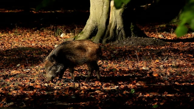 a boar, normandy, france - boar stock videos & royalty-free footage