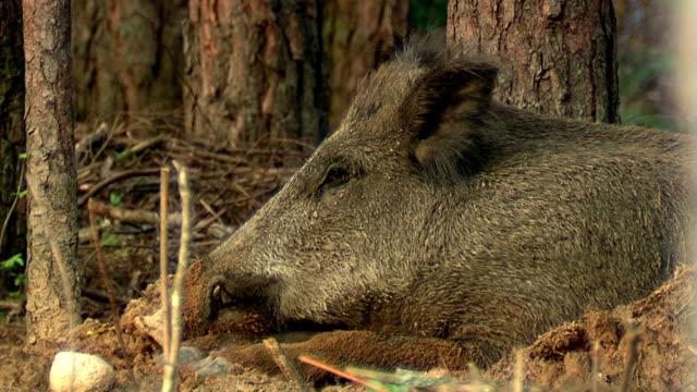 猪が当たる - 突き出た鼻点の映像素材/bロール
