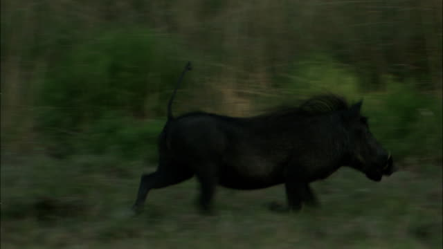 a boar runs through grasses. - boar stock videos & royalty-free footage