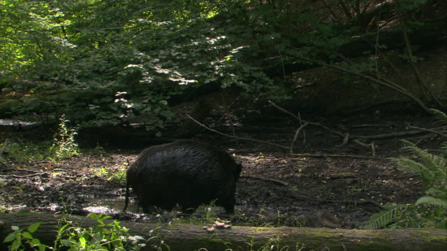 boar wallowing in mud - boar stock videos & royalty-free footage