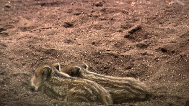 巣で眠っているイノシシ カブス - 動物の子供点の映像素材/bロール