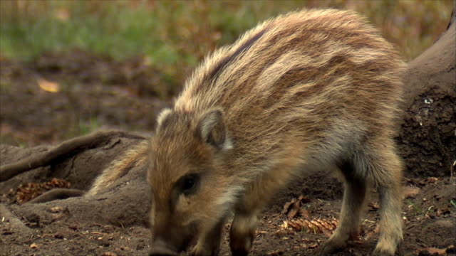 boars family - cub stock videos & royalty-free footage