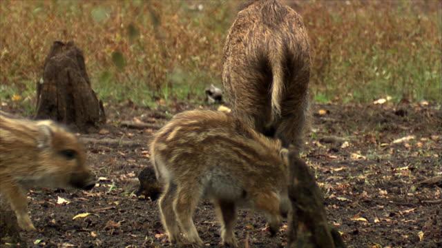 イノシシの家族 - 動物の子供点の映像素材/bロール