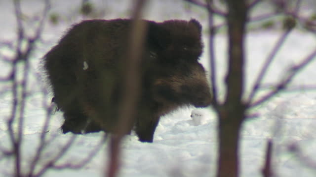 boars feeding - boar stock videos & royalty-free footage