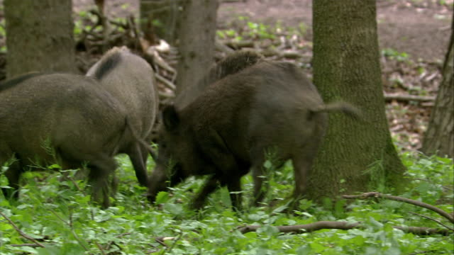 boars fighting - central europe stock videos and b-roll footage