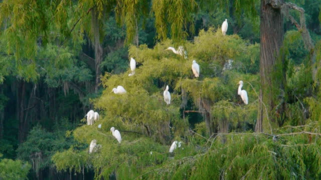 boat pov, flock of great egrets in moss-covered cypress trees, feathers floating in air, caddo lake, on the texas/louisiana border - egret stock videos and b-roll footage