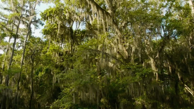 boat pov, looking up, moving past spanish moss-covered cypress trees lining river, caddo lake, on the texas/louisiana border - epiphyte stock videos & royalty-free footage