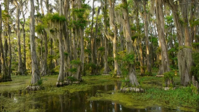 boat pov, moving into spanish moss-covered cypress tree forest in swamp, caddo lake, on the texas/louisiana border - spanish moss stock videos & royalty-free footage