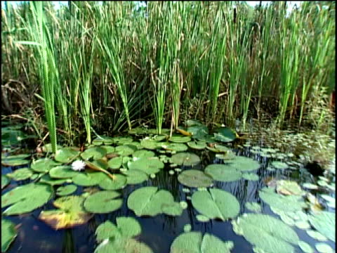 pov boat moving on pond with water lilies and through cattail - reed grass family stock videos and b-roll footage