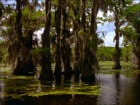 vidéos et rushes de boat point of view of cypress trees with spanish moss in swamp / caddo lake, texas - cinématographie