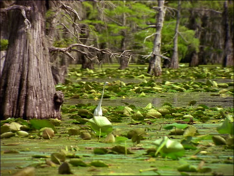 vidéos et rushes de boat point of view past great egret standing still in swamp / caddo lake, texas - cinématographie