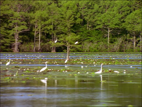 vidéos et rushes de boat point of view past group of great egrets standing + flying in swamp / caddo lake, texas - cinématographie
