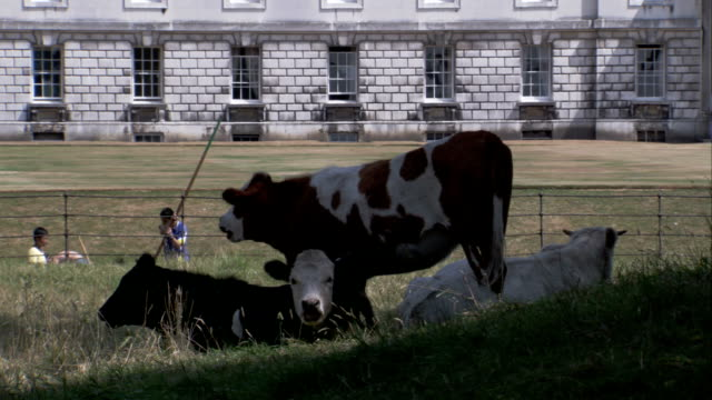 vídeos de stock, filmes e b-roll de boaters on punts pass resting cows in a field near the king's college of our lady and saint nicholas campus of the university of cambridge. available in hd. - king's college cambridge