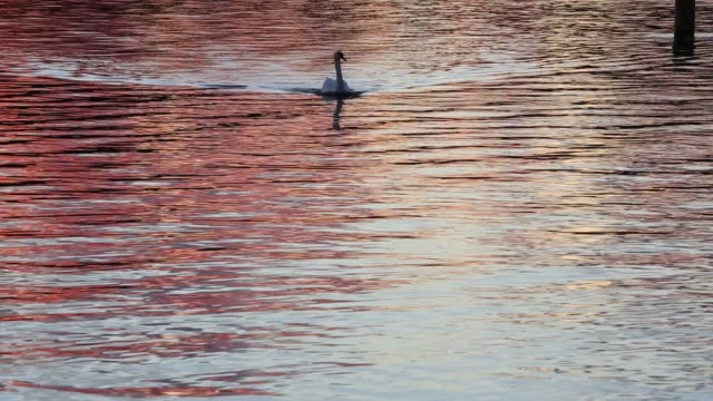 boats and a mute swan at sunset in lake windermere, lake district, uk. - mute swan stock videos & royalty-free footage