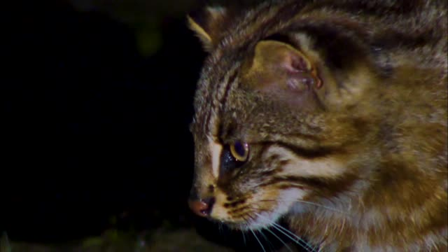 a bobcat eyeing a fish in the stream, gangwon province, south korea - animal attribute stock videos and b-roll footage