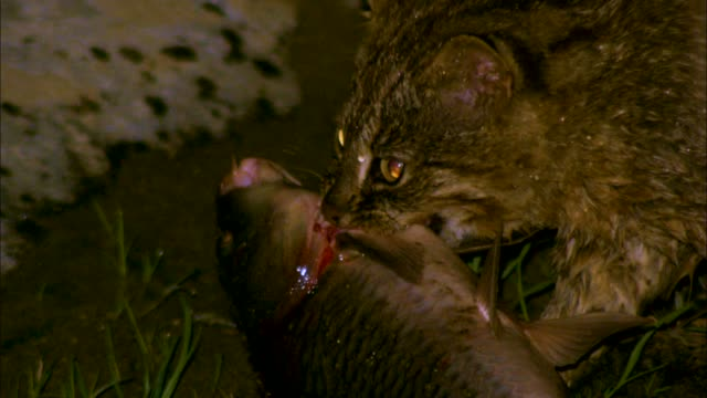 a bobcat finishing off the fish it caught, gangwon province, south korea - animal attribute stock videos and b-roll footage