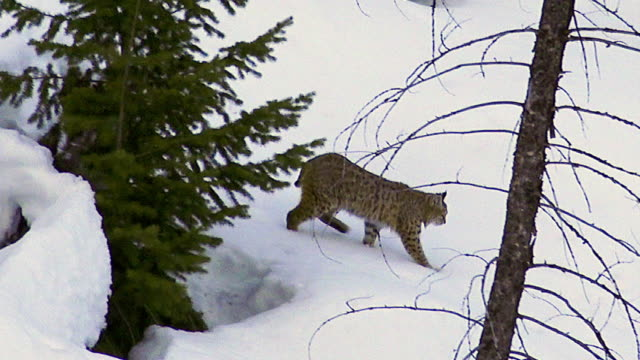 Bobcat in snow, Yellowstone National Park, winter