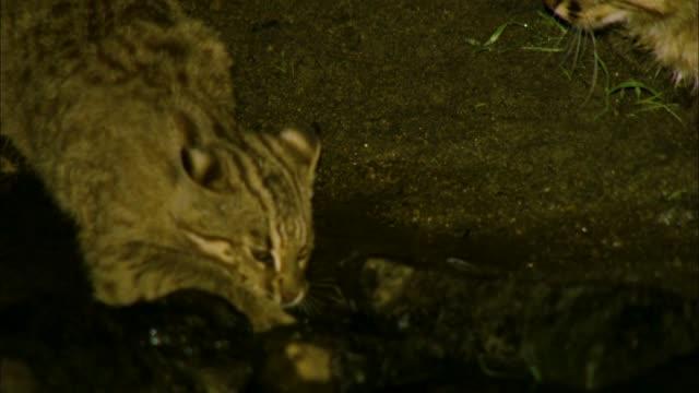 Bobcat kitten failing in hunting a fish, Gangwon Province, South Korea