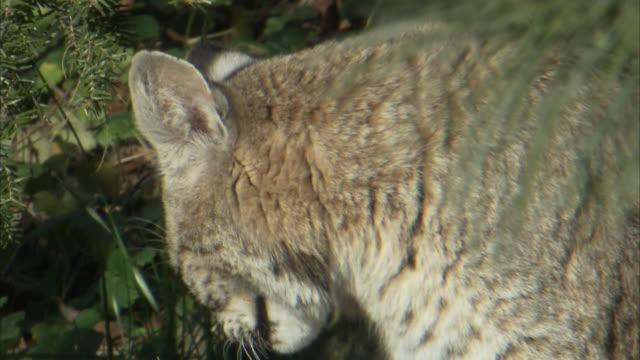 vídeos de stock e filmes b-roll de a bobcat licks its chops and yawns while it grooms its luxurious coat. - animal selvagem