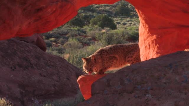 vidéos et rushes de ms bobcat (lynx rufus) poses in natural red rock arch /utah, usa - lynx